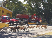 firestation-sheep