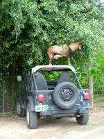 goat-carhood